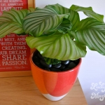 Calatheas From Around The World: Orbifolia
